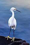Egret Pose, Balboa Island, CA.