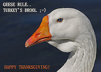 A 'bit' of Thanksgiving holiday humor. Eat turkey, save the geese ;-)