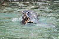 Hawaiian monk seal, Neomonachus schauinslandi, 2.5 year old male, bites flipper of green sea turtle or honu, Chelonia mydas, while playing with it, Pu'uhonua o Honaunau ( City of Refuge ) National Historical Park, Kona, Hawaii ( Big Island ) Hawaiian Islands, USA, ( Central Pacific Ocean )