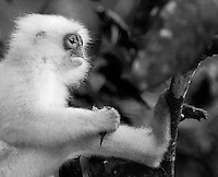 I saw several red leaf monkeys in Borneo, many of which had white fur.<br /> <br /> This image is also available in color.