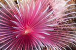 Dumaguete, Dauin, Negros Oriental, Philippines; a pink and white feather duster worm