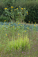 Wildflower meadow at Great Dixter with sunflowers (Helianthus annus) behind