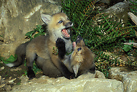 Baby red foxes playing with each other