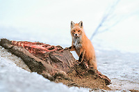 Red fox feeds on moose carcass, Denali State Park, Alaska