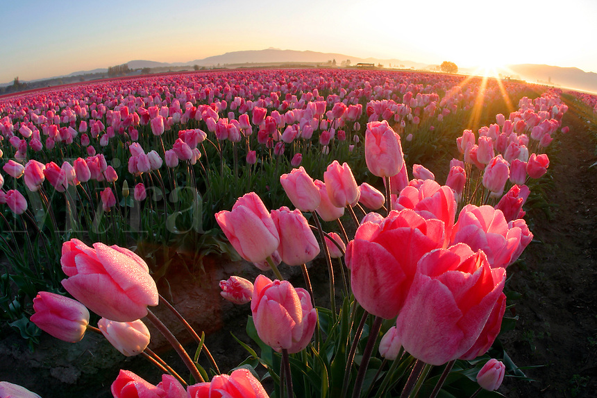 Field of pink tulips, Mount Vernon, Skagit Valley, Skagit County, Washington, USA