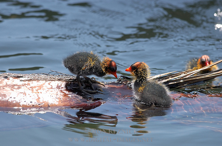 American Coot Babies, Echo Park, Los Angeles, California