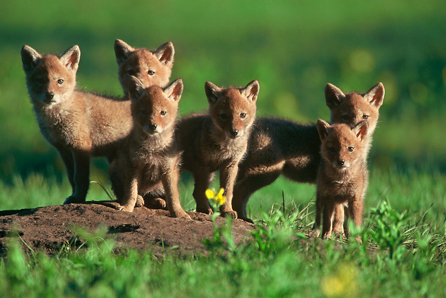 A sextet of coyote pups (Canis latrans) stand alert at the entrance of their den in Rocky Mountain National Park, Colorado.