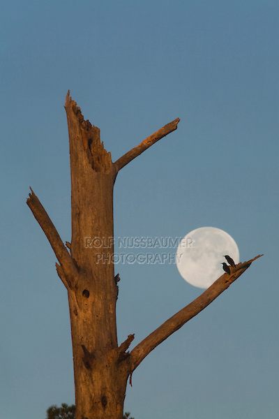 European Starling (Sturnus vulgaris), pair silhouetted against full moon at nest tree, Raleigh, North Carolina, USA