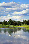 Hammonasset State Park pond. Family of swans in summer.