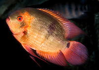 Chocolate Cichlid (Hypselecara temporalis) located in calm pools and backwaters in Brazil.