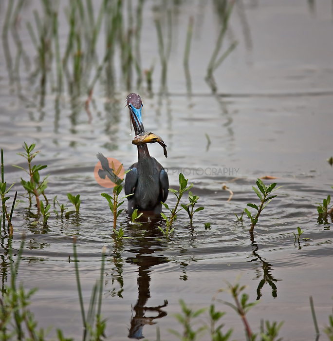 Little Blue Heron with fish speared on it's beak in the rain with raindrops visible. Little Blue Heron is in breeding colors with bright blue beak