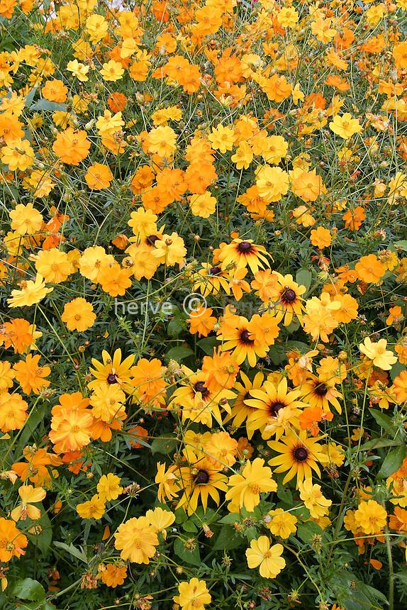 Massif jaune de rudbeckias et Cosmos sulphureus // Cosmos sulphureus, Sulfur Cosmos and Rudbeckia