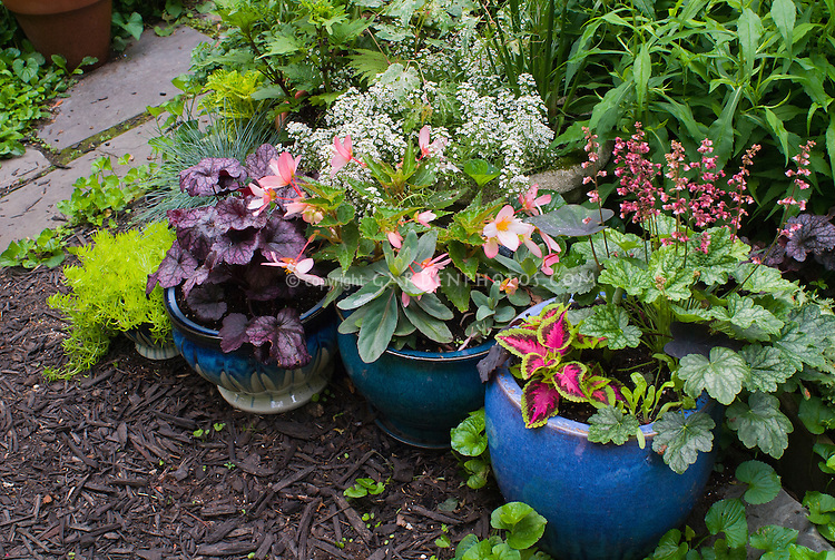 Container gardens pots, Festuca blue grass, blue pots, Alyssum Lobularia, purple Heuchera Berry Timeless in bloom, Heuchera Grape Expectations purple foliage, yellow Sedum, Coleus, Begonia in flower