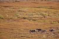 Caribou run across the open tundra and grassland of Thorofare flats in Denali National Park, Interior, Alaska.