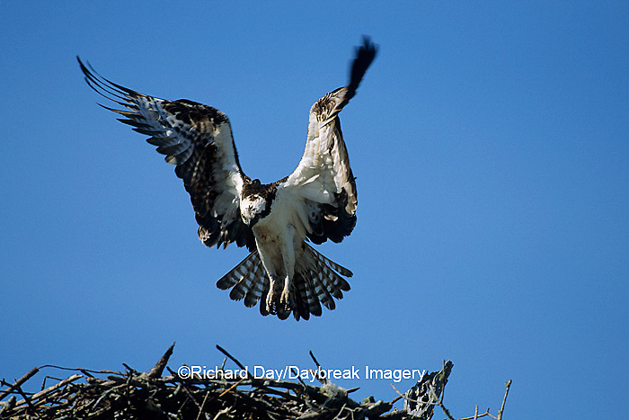 00783-01315 Osprey (Pandion haliaetus) male landing at nest, FL