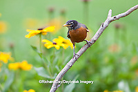 01382-05119 American Robin (Turdus migratorius) on perch near flower garden, Marion Co. IL