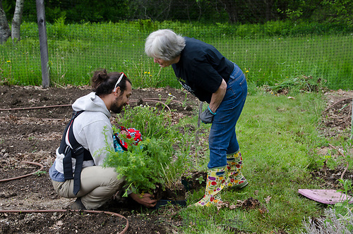 Two gardeners in Community garden planting - new father of infant and older woman work together, Maine, USA