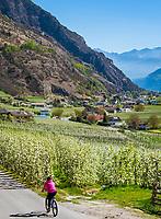 Italy, South Tyrol (Trentino - Alto Adige), Val Venosta, Castelbello-Ciardes: apple blossom | Italien, Suedtirol (Trentino - Alto Adige), Vinschgau, Kastelbell-Tschars: Apfelbluete