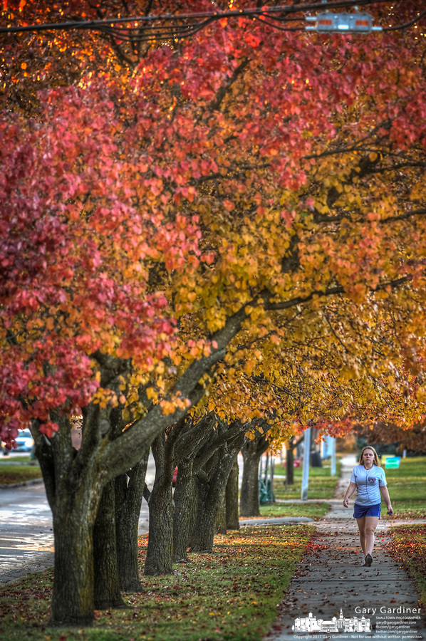 A woman takes an afternoon walk along a sidewalk under a canopy of golden fall leaves in Westerville, Ohio.