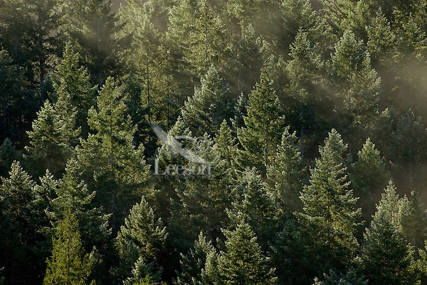 Early morning sun lights treetops in douglas fir forest.  Pacific Northwest.
