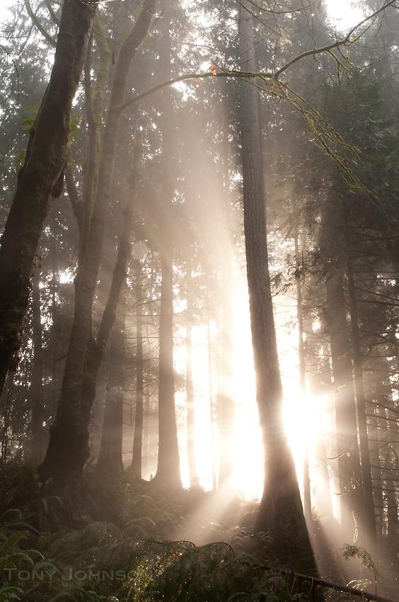 Sun burning through fog, Fairy Dell Trail, Bainbridge Island