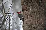 Red-bellied Woodpecker clinging to a tree in Nebraska.