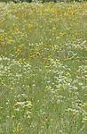 Meadow flowers, Imst, Tyrol, Austria