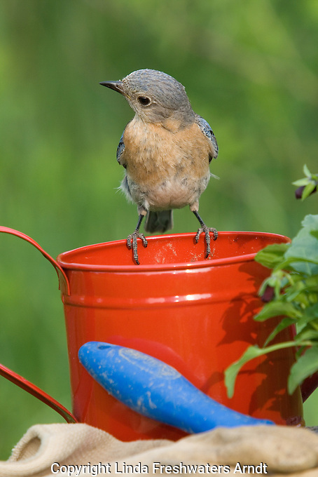 Female eastern bluebird looking down at the contents of a red watering can