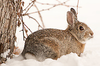 A Mountain Cottontail forages beneath a tree following fresh snowfall near Bozeman, Montana.