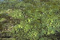 PO05-004b  Pond  Algae - pond scum growing at surface of small pond