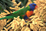Rainbow Lorikeet, Trichoglossus haematodus moluccanus, Australia, on palm tree, feeding on seeds.Australia....