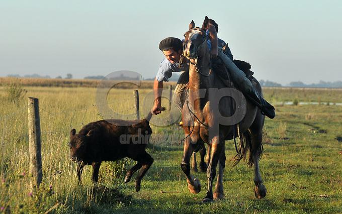 Un gaucho atrapa un ternero en Salto, Buenos Aires, Argentina.
