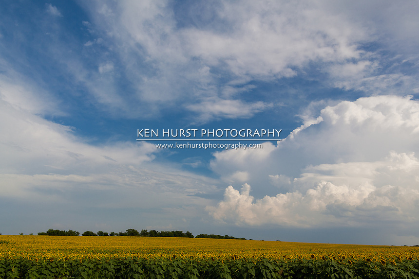 Field of giant sunflowers with blue sky and dramatic storm clouds on a summer day in the North Texas area. Scene photographed in a rural area near the city of Palmer, Texas.