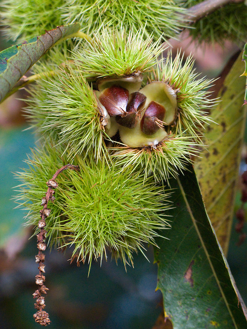 Sweet Chestnuts still in their spikey casings, calybium, singular, calybia, pl, in the cupule, on the branch. Dorset. England