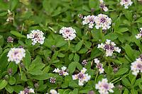 Kriechende Teppichverbene, Teppich-Verbene, Phyla nodiflora, Lippia nodiflora, frog fruit, sawtooth fogfruit, turkey tangle, turtle grass