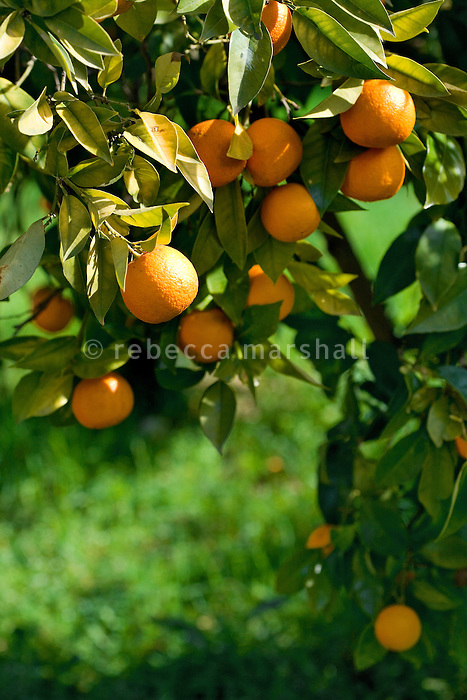 Oranges growing in garden, Pont du Loup, Alpes Maritimes, France, 10 March 2009