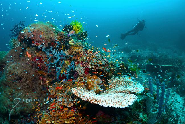 Diver on colorful reef , Larantuka, eastern end of Flores Island, East Nusa Tenggara, Indonesia. ,