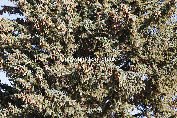 A large amount of pine cones on a Spruce tree