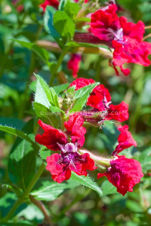 Cuphea 'Flamenco Rumba' (llavea) in flowers