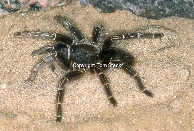 Striped Knee Tarantula, Aphonopelma seemanni