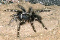 Striped Knee Tarantula, Aphonopelma seemanni