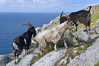 Feral Goat - Capra hircus - Lundy. Shoulder height 60-90cm Familiar domesticated animal. Feral populations established in several locations. Sure-footed on steep, broken terrain. Adult Feral Goat is shorter and stockier than domesticated forms. Coat is long, shaggy and variably coloured, often piebald mixture of grey, black and whitish. Male (billy) is larger and bulkier than female (nanny) and has recurved, ringed horns that increase in size with age. Many have a 'beard' and tassles on chin. Female is smaller than male, with shorter horns. Juvenile (kid) lacks horns. Voice Utters a warning whistle. Females summon their kids by bleating. Domesticated for more than 10,000 years, prized for its hair, milk, hide and meat. Probably brought to Britain by first Neolithic human settlers.