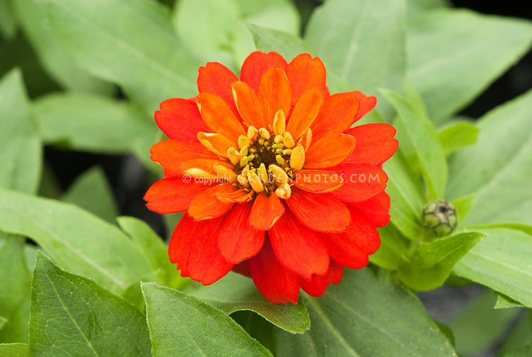 Zinnia 'Zahara Double Fire' annual flower in summer bloom