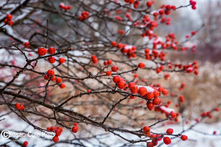 Winterberries at the Arnold Arboretum in the Jamaica Plain neighborhood, Boston, Massachusetts, USA