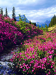 Wildflowers in Banff National Park, Alberta, Canada