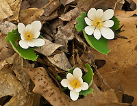Bloodroot gows out an through last years leaves on the forest floor in spring at Lyon Forest Preserve in Kendall County, Illlinois