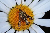 Zypressenwolfsmilch-Glasflügler, Chamaesphecia empiformis, Glasflügler, Sesiidae, clearwings