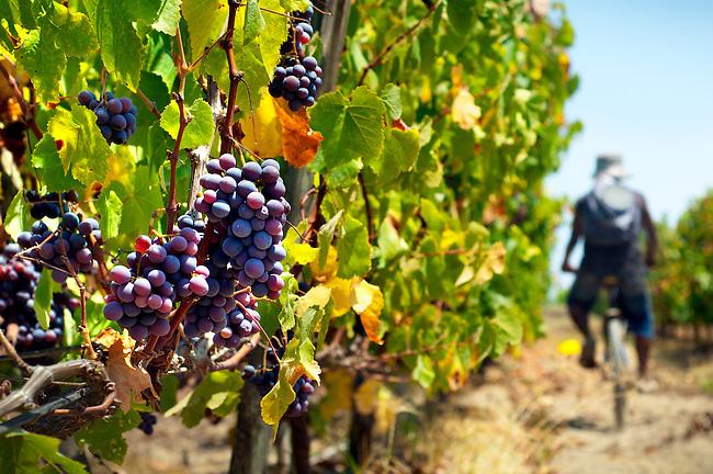 Wine picker bicycles thru a wine vineyard in the wine producing region of Ica, Peru.