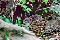 2017-08-15_Urban Wildlife_Beaver