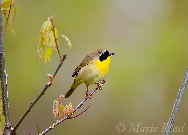 Common Yellowthroat (Geothlypis trichas) male, spring, Dryden, New York, USA